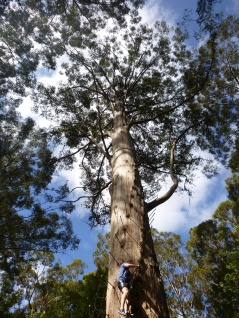 14. gloucester tree