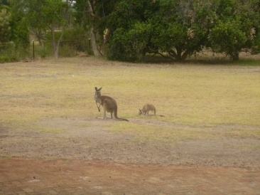 Kangourous dans le jardin