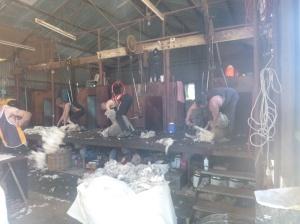 12. Shearers à l'oeuvre