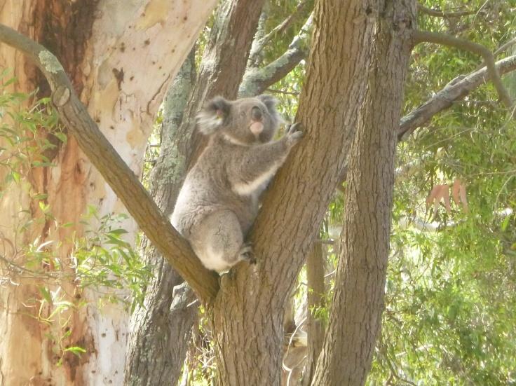 26. Koala au Tower Hill reserve