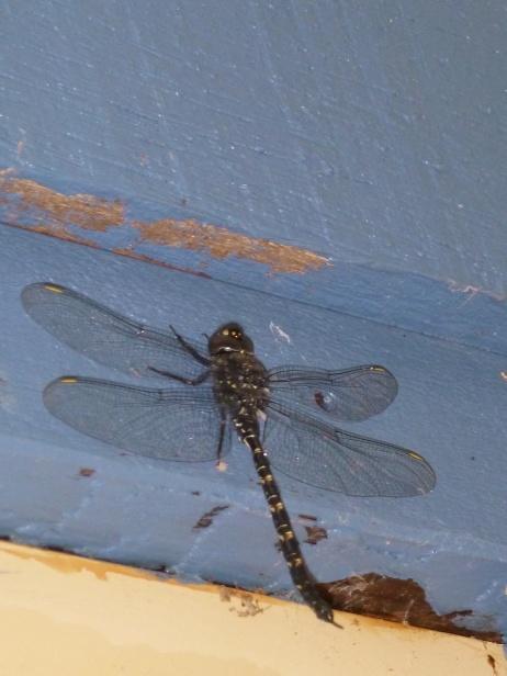 La faune locale avec une libellule énorme