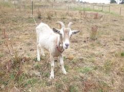 13. Chèvre