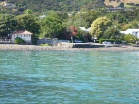 24. Dauphin Hector - le plus petit dauphin au monde - dans le port d'Akaroa