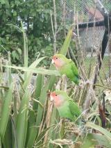 31. Perroquets Timaru