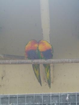 33. Perroquets Timaru3