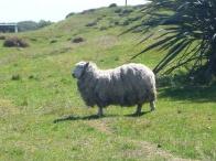 38. Sheep