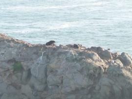 55. Seals sur falaise