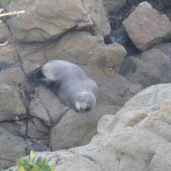 56. Seal qui dort (pas si rare...)