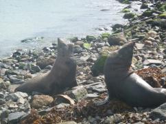 59. Péninsule Otago - Seals face à face
