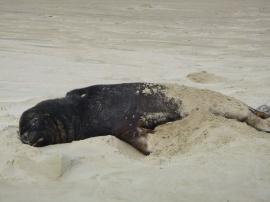 72. Fur seal à Cannibal Bay