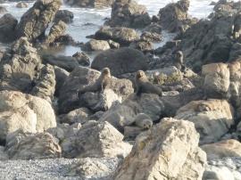 25. Colonie phoques Cap Palliser