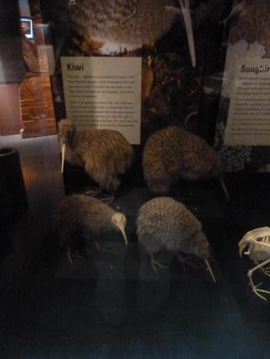 5. Te Papa museum - Kiwis sous vitrine (la seule occasion où nous verrons à quoi ressemble l'animal nocturne - véritable part de l'identité néo-zélandaise et pourtant espèce en voie d'extinction)