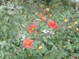 84. Hamilton gardens - Papillon