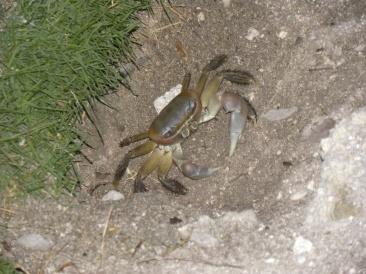 10. Crabe nocturne