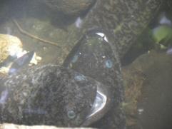 18. Anguilles aux yeux bleus