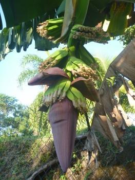 5. De véritables bananiers dans la propriété