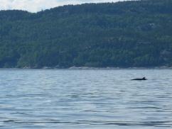 70. Les Bergeronnes -Excursion baleines3