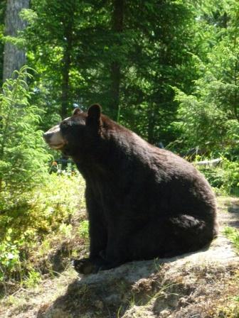 75. Zoo St-Félicien - Ours noir