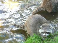 78. Zoo St-Félicien - Raton-laveur