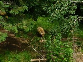 79. Zoo St-Félicien - Renard