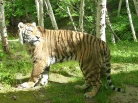 80. Zoo St-Félicien - Tigre de l'amour