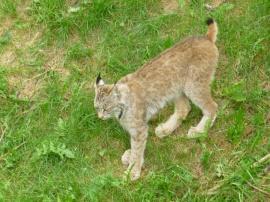 81. Zoo St-Félicien - Lynx