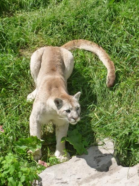 82. Zoo St-Félicien - Puma