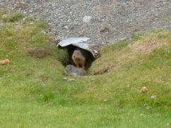 102. Manning park - Cascades lookout - Marmotte