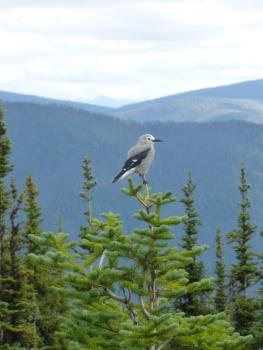 105. Manning park - Cascades lookout - Clark's Nutcracker