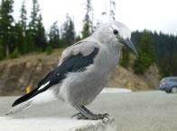 109. Manning park - Cascades lookout - Clark's Nutcracker