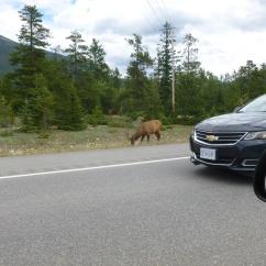 36. Rocheuses - Caribou sur la route