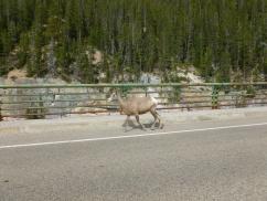 63. Rocheuses - Mouflon d'Amérique
