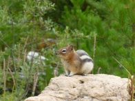 73. Rocheuses - Kootenay - Ground Squirrel