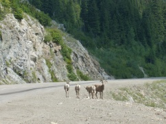 80. Route vers Nelson - Bighorn sheeps
