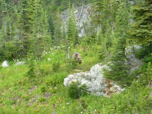 88. Grizzly dans park Mt Revelstoke2