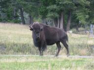 2. ...dans un ranch de buffalos !