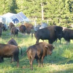 21. Buffalos