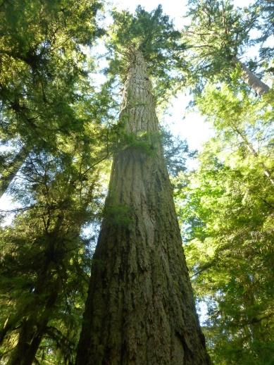 97. Le Big Tree - Plus de 800 ans et 73m de haut