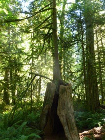 98. De nouveaux arbres naissent à partir de souches d'arbres morts...