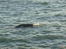 107-baleine-le-long-de-la-cote