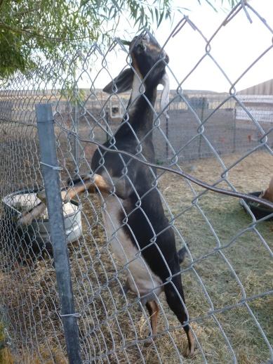 64-la-chevre-qui-voulait-etre-girafe