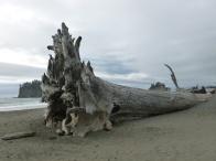 8-des-arbres-immenses-echoues-sur-la-plage2