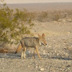 96-coyote-sur-le-bord-de-la-route