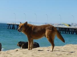 32-chiens-errants-plage-valpo