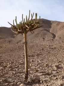5-cactus-candelabre-sur-la-route