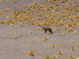 53-renard-gris