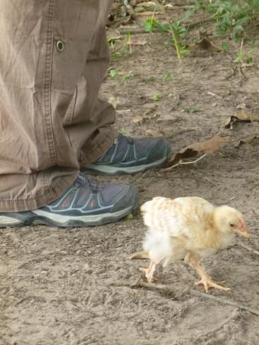 10-des-poules-ont-egalement-leur-place-ici