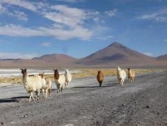 18-lamas-et-alpagas-nous-rejoignent