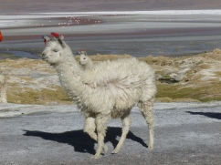 19-lamas-et-alpagas-nous-rejoignent-2