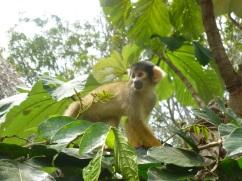 20-drucilla-le-singe-ecureuil-mascotte-de-long